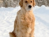 214px-golden_retriever_reggy