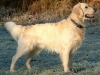 265px-golden_retriever_dukedestiny01_drvd