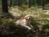 Golden_Retriever_forest