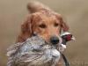 Ретривер на охоте