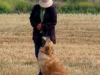 golden-retriever-hunt-test-training-prado