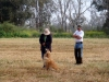 golden-retriever-hunt-test-training2