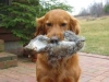 golden-retriever-retrieves-squirrel
