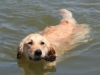 golden-retriever-swimming-history2