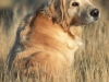 golden_retriever_0