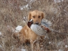 Голден охотник