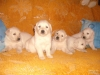 200546-golden-retriever-2