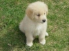 adorable-golden-retriever-puppies-for-adoption-5027ab3f3843a6e909de