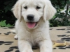 animals-dogs-golden-retriever-2-800