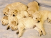 baby-golden-retriever-puppies