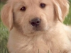 cute-golden-retriever-puppies-playing-1