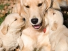 cute-golden-retriever-puppies-playing-2