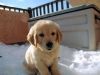 cute-golden-retriever-puppies-playing-3