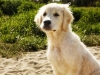 cute-golden-retriever-puppy-face-beach-picture