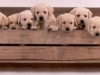 golden-retriever-puppies_0