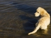 golden-retriever-puppy-plays-in-water