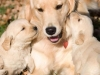 golden-retrievers-images