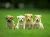 golden_retriever-puppies