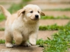 golden_retriever_dog_19