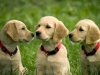 golden_retriever_puppies_0
