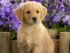 golden_retriever_puppies_1