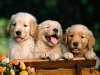 golden_retriever_puppies_2