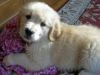 maddie-the-golden-retriever_52533_2010-12-04_w450