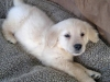 payton-the-golden-retriever-1_52452_2011-01-10_w450