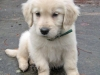 payton-the-golden-retriever-2_52452_2011-01-10_w450