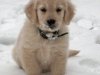 payton-the-golden-retriever-4_52452_2011-01-10_w450