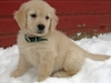 payton-the-golden-retriever_52452_2011-01-10_w450