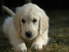 puppy_chillin__wallpaper_8iqm