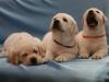 puppyindex0008