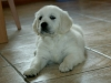 white-golden-retriever-picture