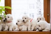 Чудесные щенки Золотистого ретривера!